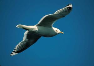 mouette, oiseau, vol