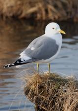 gull, bird, larus canus
