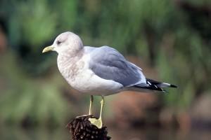 mouette, oiseau, bûche, Larus canus