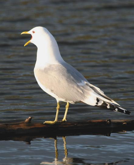 mouette, appelant, oiseau, Larus canus