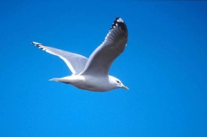 gull, flight