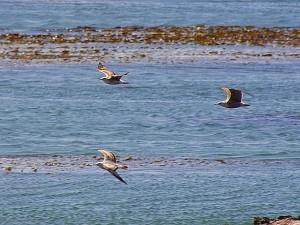ocean, birds, seagulls, seaweed