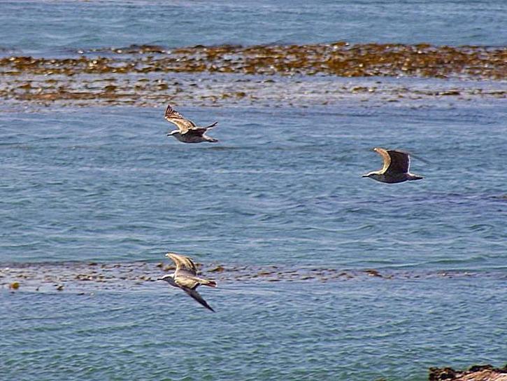 นกนางนวล นก ทะเล สาหร่ายทะเล