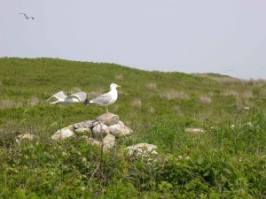 ring, bill, gulls, birds, larus delawarensis