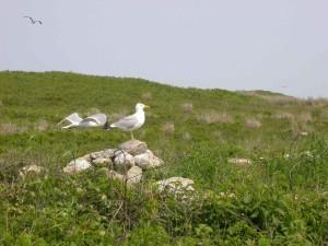 ring, bill, gulls, birds, larus delawarensis