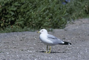 ring, billed, gull, standing, beach, larus delawarensis