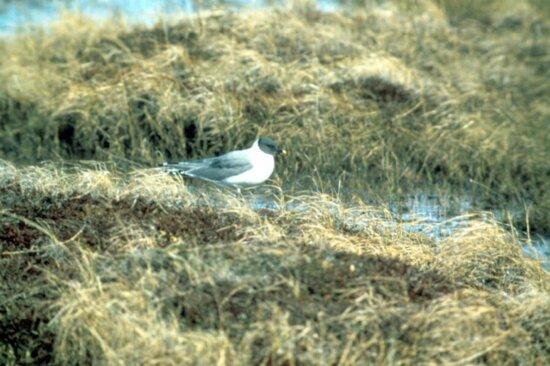 Sabines, Racek, pták