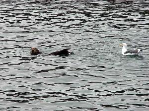 Чайка, морской лев, вода