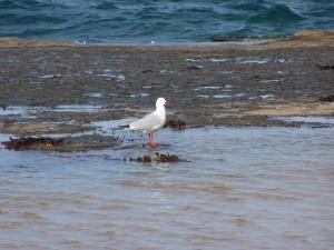 mouette, oiseau, plage