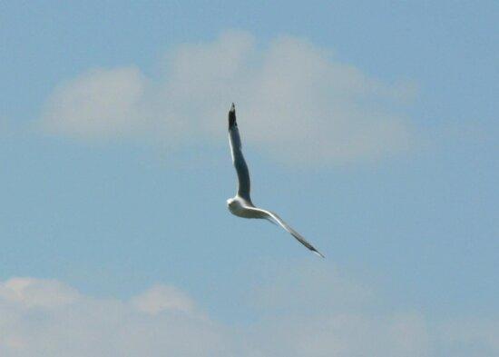 seagull, flying, sky, high