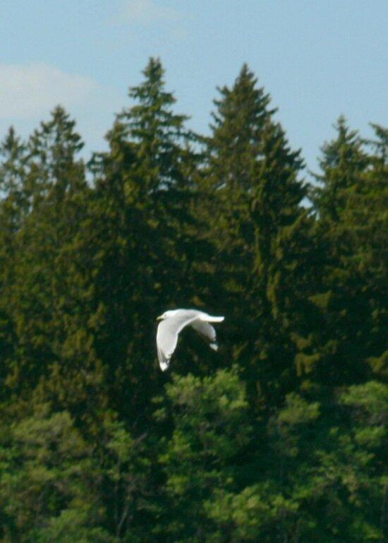 Racek, létání, stromy