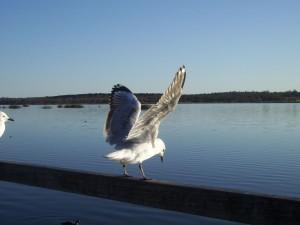 martı, göl