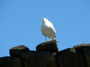 seagull, standing, dock