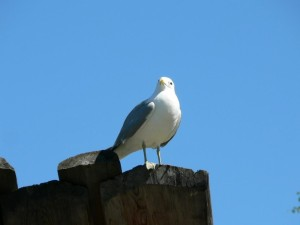 seagull, standing, wood