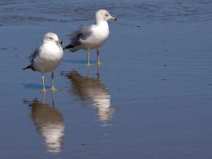 seagulls, birds, ocean, beach, water reflection