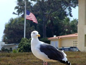 чайки, птахів, прапори