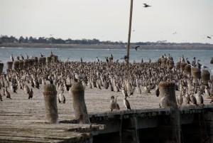 wharf θαλασσοκόρακες, γλάροι,