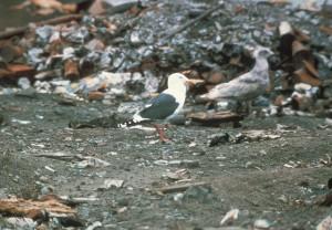 schisteuse, soutenu, mouette, oiseau, larus schistisagus