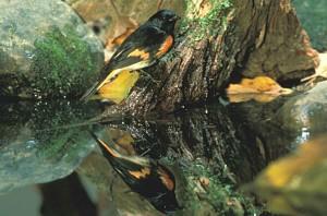 setophaga, ruticilla, American, redstart, bird