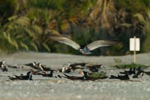 orilla, pájaro, de aterrizaje, arena, playa