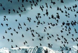 shorebird, flock