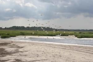 shorebirds, vlucht, strand