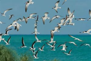 flock, black, skimmers, flight