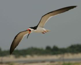 black, skimmer, bird, flight, close