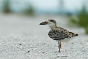 juvenile, black, skimmer, bird, close