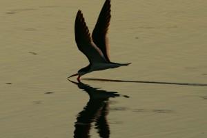 silhouette, black, skimmer, bird