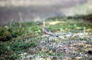 small, marine, bird, grass
