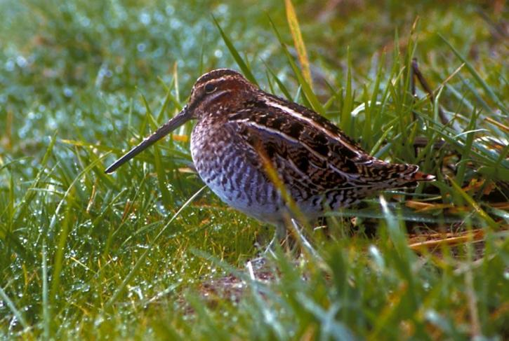 snipe, bird, photo