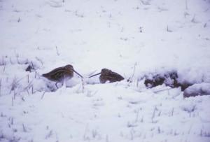 snipe, snow, gallinago, gallinago