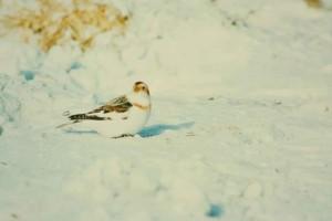 snow, bunting, bird, snow