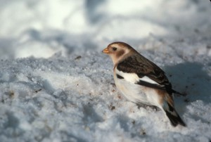 zăpadă, Presura, reproducere, penaj, plectrophenax nivalis