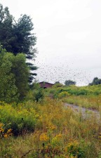 Flock, chim sẻ, bay