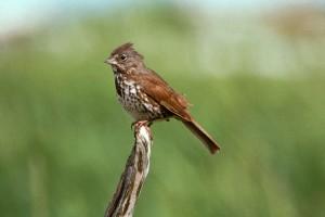 fox, sparrow