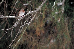fox, sparrow, bird, passerella iliaca
