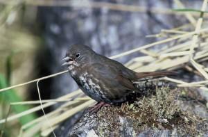 passerella iliaca, fox, sparrow, migratory, bird