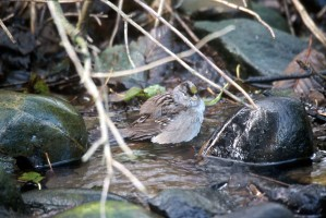 golden, crowned, sparrow, bird, water, zonotrichia atricapilla