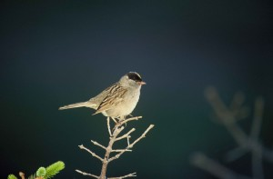 golden, crowned, sparrow, branch, zanotrichia atricapilla