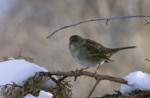 golden, crowned, sparrow, perching, snow, crusted, pine, branch