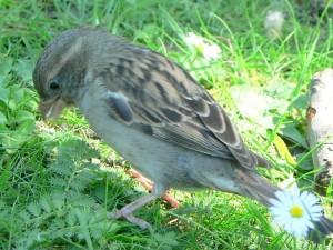 house, sparrow