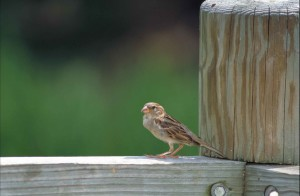 house, sparrow, bird, standing, wooden, railing, large, post, passer, domesticus