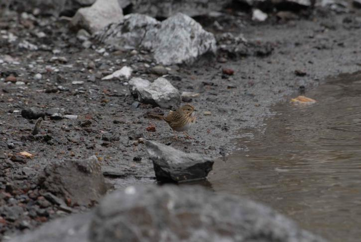 Lincoln, sparrow, tạm dừng, nước