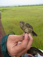 saltmarsh, sparrow, ammodramus caudacutus, fugl, hånd