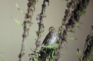 savannah, sparrow, gets, portrait