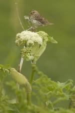 bird, chowiet, island, savannah, sparrow