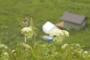 chowiet, island, savannah, sparrow, bird