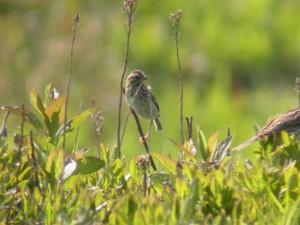 savannah, sparrow, bird, grass